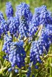 De hyacint van de druif Royalty-vrije Stock Foto's