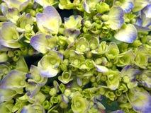 De Blauwe Hydrangea hortensia van de bloem Royalty-vrije Stock Afbeeldingen