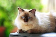 De blauwe kat van puntHimalayan openlucht Stock Afbeeldingen