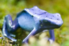 De blauwe Kikker van de Pijl van het Vergift - de Blauwe Kikker van het Pijltje van het Vergift - azu Dendrobates Stock Foto