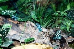 De blauwe Kikker van het Pijltje van het Vergift Royalty-vrije Stock Afbeelding
