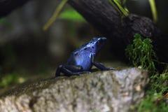 De blauwe kikker van het vergiftpijltje (Dentrobates-azureus) Stock Afbeeldingen