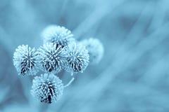 De blauwe Klis van de Winter royalty-vrije stock foto's