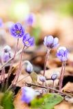De blauwe lente wildflower liverleaf of liverwort, Hepatica-nobilis Royalty-vrije Stock Fotografie