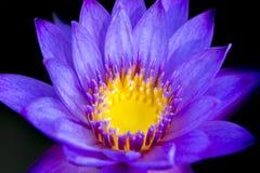 De blauwe lotusbloem van Nymphaeanouchali Stock Afbeelding