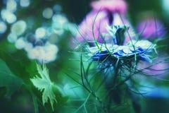 De blauwe macro van de korenbloembloem stock foto