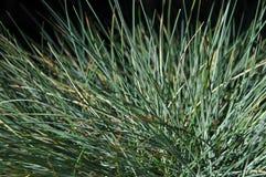 De blauwe Macro van het Gras van het Aanwijsstokje Royalty-vrije Stock Fotografie