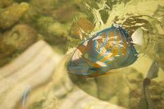De blauwe Mariene vissen van de ringszeeëngel Pomacanthusannularis Blauwe Ring stock foto's