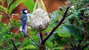 De blauwe mees eet vet voedsel stock footage