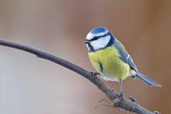 De blauwe mees van de winter Stock Foto's