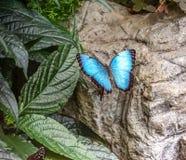 De blauwe Morpho-cyclus van het vlinderleven stock afbeeldingen