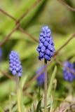 De blauwe Muscari-Hyacint van de Bloemdruif, Tsjechische Republiek, Europa Royalty-vrije Stock Foto's
