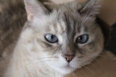 De blauwe ogen van een siamese kat Stock Foto