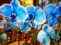 De blauwe orchideeën van de bloemwinkel stock fotografie
