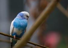 De blauwe Parkiet zit op een toppositie in de zomer royalty-vrije stock fotografie