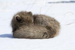 De blauwe poolvos van de bevelhebber die slaap Stock Foto