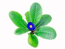 De blauwe primula van de lente stock afbeeldingen