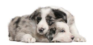 De blauwe puppy van de Collie van de Grens Merle, 6 weken oud Stock Foto