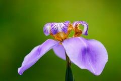 """De blauwe purpere """"Walking van de caeruleabloem van Iris† Neomarica macrodiefoto op de omringende groene bokehachtergrond wo royalty-vrije stock fotografie"""