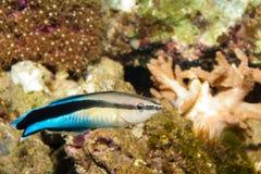 De blauwe Schonere Vissen Wrasse van de Strook Royalty-vrije Stock Afbeeldingen