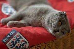 De blauwe Schotse vouwenkat legt op een rood tapijt Stock Foto