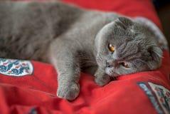 De blauwe Schotse vouwenkat legt op een rood tapijt Royalty-vrije Stock Foto's