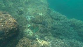 De blauwe scuba-duikers letten op koraalriffen stock video