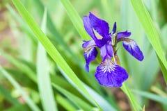 De blauwe Siberische close-up van de irisbloem Stock Foto's