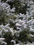 De Blauwe Sparren van Colorado (Picea pungens Engelm) Royalty-vrije Stock Afbeeldingen