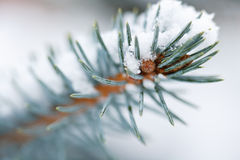De Blauwe Sparren van de spar in de sneeuw stock afbeelding