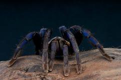 De Blauwe Tarantula van het kobalt stock fotografie