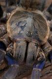 De Blauwe Tarantula van het kobalt Stock Foto