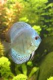 De blauwe Vissen van de Discus Stock Afbeeldingen