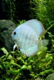 De blauwe Vissen van de Discus van de Diamant Royalty-vrije Stock Foto's