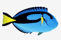 De blauwe Vissen van het Zweempje stock afbeeldingen