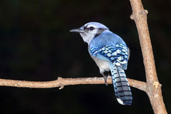 De blauwe Vlaamse gaai (cristata Cyanocitta) Royalty-vrije Stock Foto's