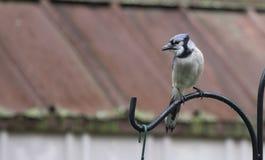 De blauwe Vlaamse gaai uitnodigende vriend om te komen sluit zich aan bij hem royalty-vrije stock foto