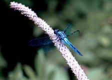 De blauwe Vlieg van de Draak Royalty-vrije Stock Afbeelding