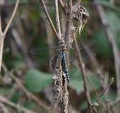 De blauwe Vlieg van de Draak Stock Fotografie