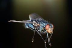 De blauwe Vlieg van de Fles royalty-vrije stock foto