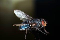 De blauwe Vlieg van de Fles royalty-vrije stock afbeeldingen