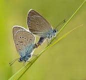 De Blauwe Vlinder die van Mazarine van het paar liefde maakt met Royalty-vrije Stock Afbeelding