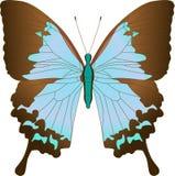 De blauwe vlinder Papilio Achillides van Zeilbootulysses ulysses Vector illustratie stock illustratie