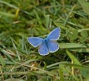 De Blauwe vlinder van Adonis Stock Fotografie