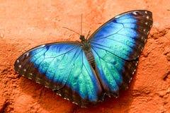 De Blauwe Vlinder van Caligoeurilochus royalty-vrije stock afbeelding