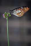 De blauwe Vlinder van de Tijger Stock Afbeelding
