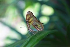 De blauwe Vlinder van de Tijger Royalty-vrije Stock Fotografie