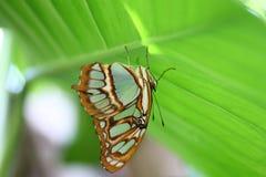 De blauwe Vlinder van de Tijger Stock Fotografie