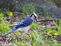 De blauwe vogel van de Vlaamse gaai Stock Foto