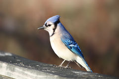 De blauwe vogel van de Vlaamse gaai royalty-vrije stock foto's